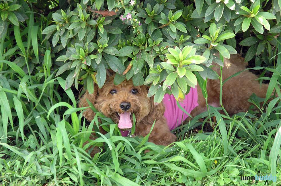 炎天下の散歩は注意!犬の肉球は暑さに弱い