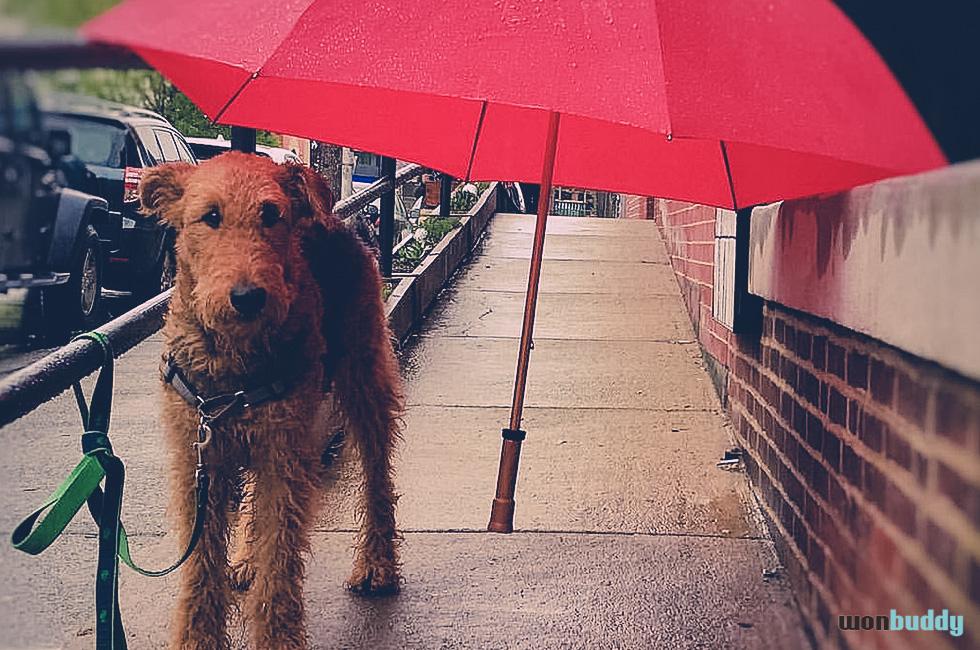 雨音はショパンの調べ? 雨の日の犬の過ごし方