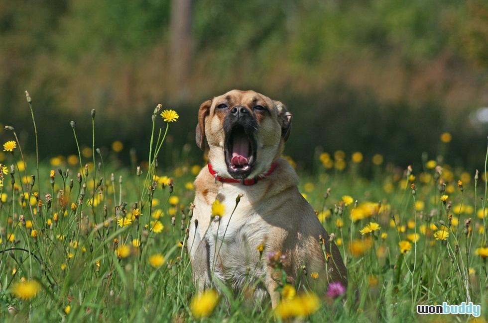退屈なのかな? 可愛らしい犬のあくびの意味
