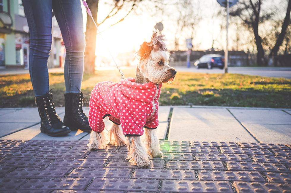 犬に服を着せるのは、犬の悲劇か喜びか?