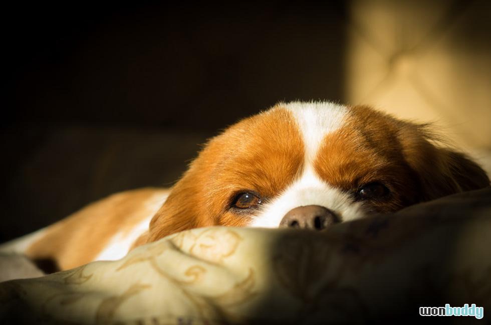 愛犬に訪れる初めてのヒート(生理/発情期)と、その対策。避妊手術の必要性は?