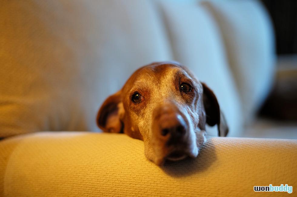 犬も老眼になる? 犬の老化に伴う視力の低下。