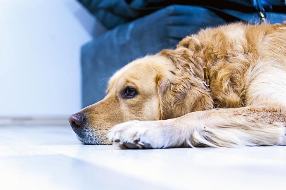 The Dog ラブラドルレトリバー 、アメリカ人気犬種で26年連続首位