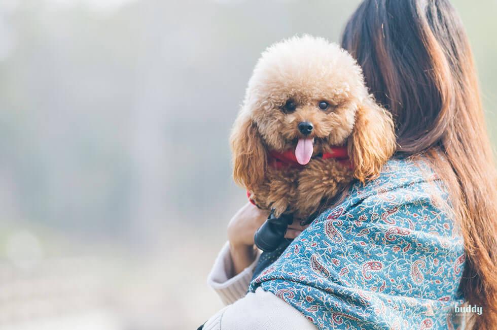 10年連続人気犬種ランキング1位のトイプードルの魅力と人気の訳